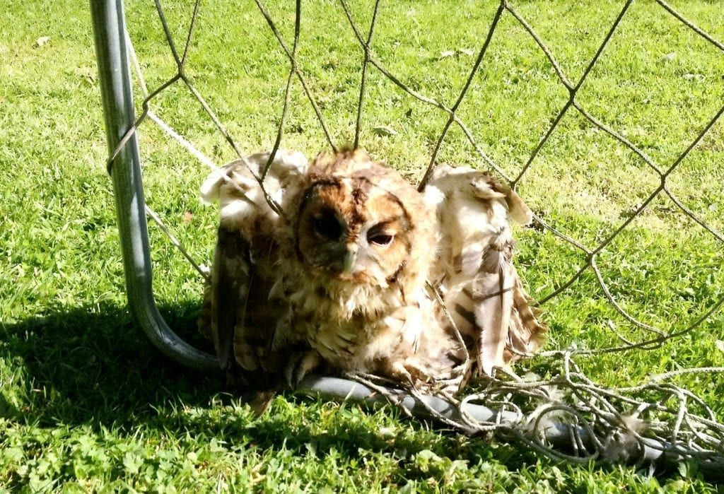 An owl tangled in sports netting. SWNS