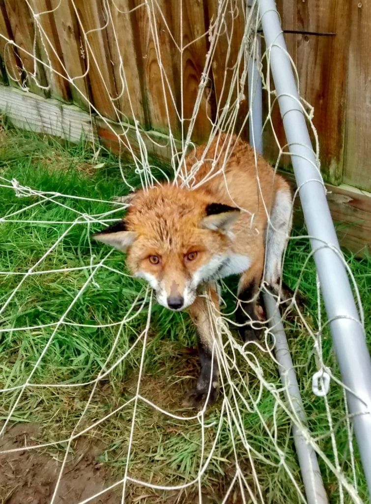In the week that the World Cup is kicking off, the RSPCA has a multitude of photos to remind people how dangerous sports netting is to animals. SWNS