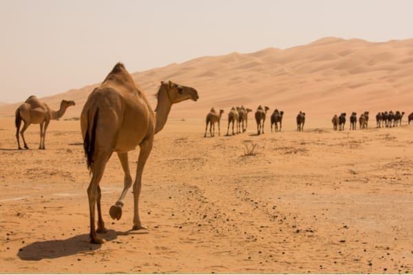 Camel milk is hailed by scientists as the closest alternative to human breast milk (Photo: Shutterstock)